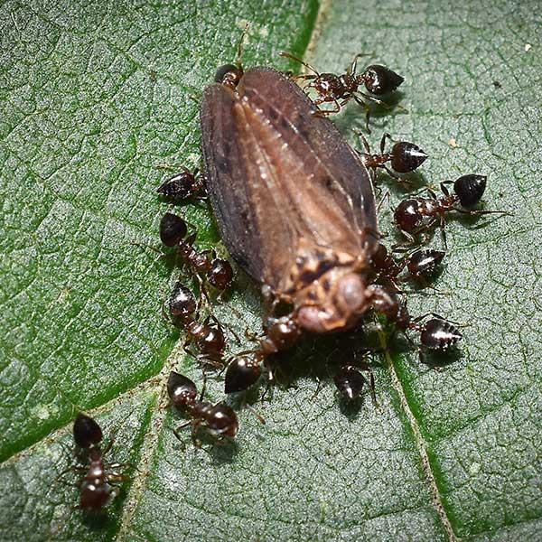 Wood Infesting Ants